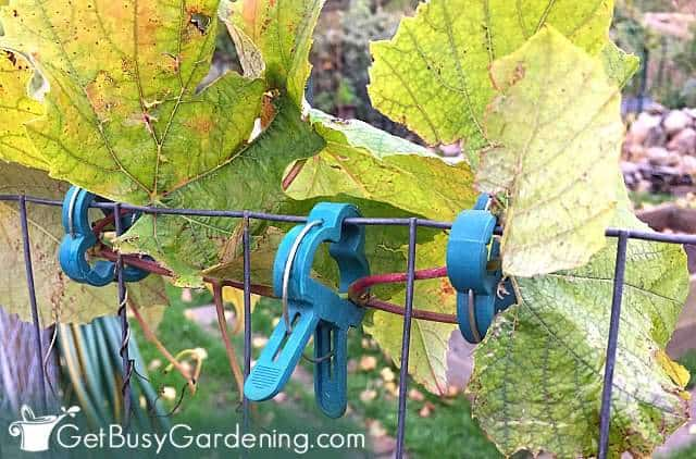 Plant clips used to train climbing plants