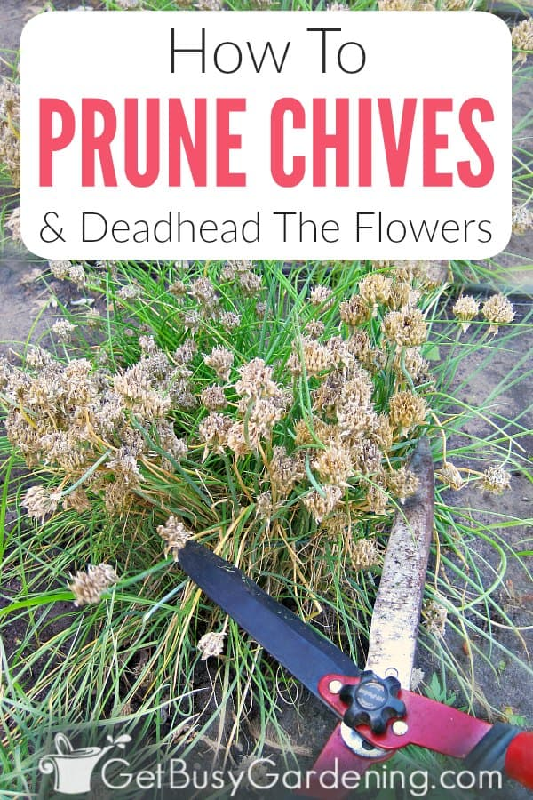 Chives are common herbs that grow beautiful purple flowers in early summer. Just like most plants, chives will benefit from regular pruning to keep them growing their best. It's also important to deadhead chives after they bloom, or they'll spread all over your garden. The good news is that pruning and deadheading chives are both very easy. Learn when to trim chive plants and remove the flowers, different tools and techniques to use, and exactly how to cut back chives.