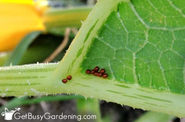 Squash bug eggs on the underside of a leaf