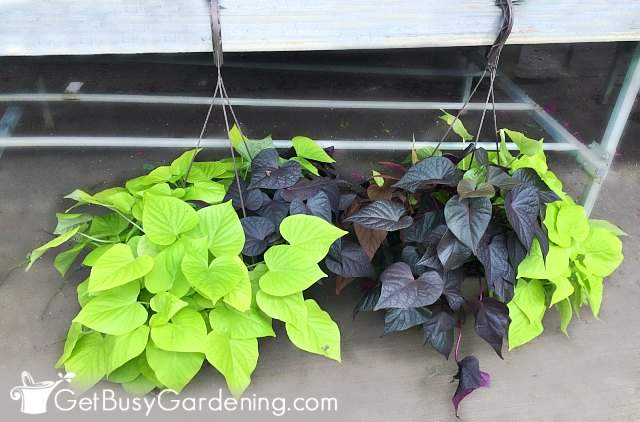 Sweet potato vines are beautiful plants for pots outside