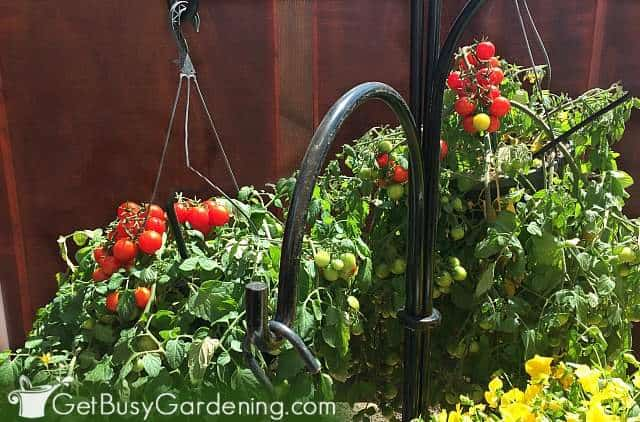 Tomato plants are fun vegetables for hanging planters