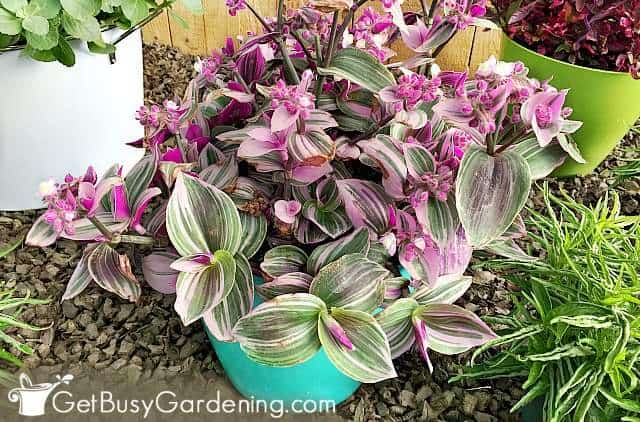 Tradescantia is one of the best outdoor potted plants