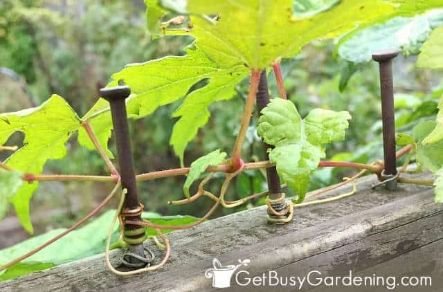 Vine tendrils wrapped around a growing support
