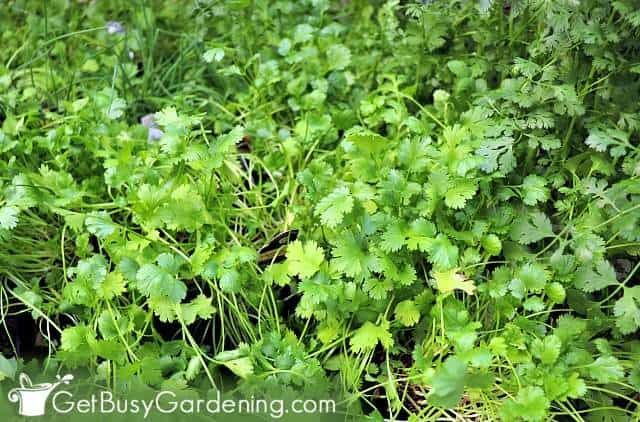 Cilantro is a cinch to grow in any herb garden