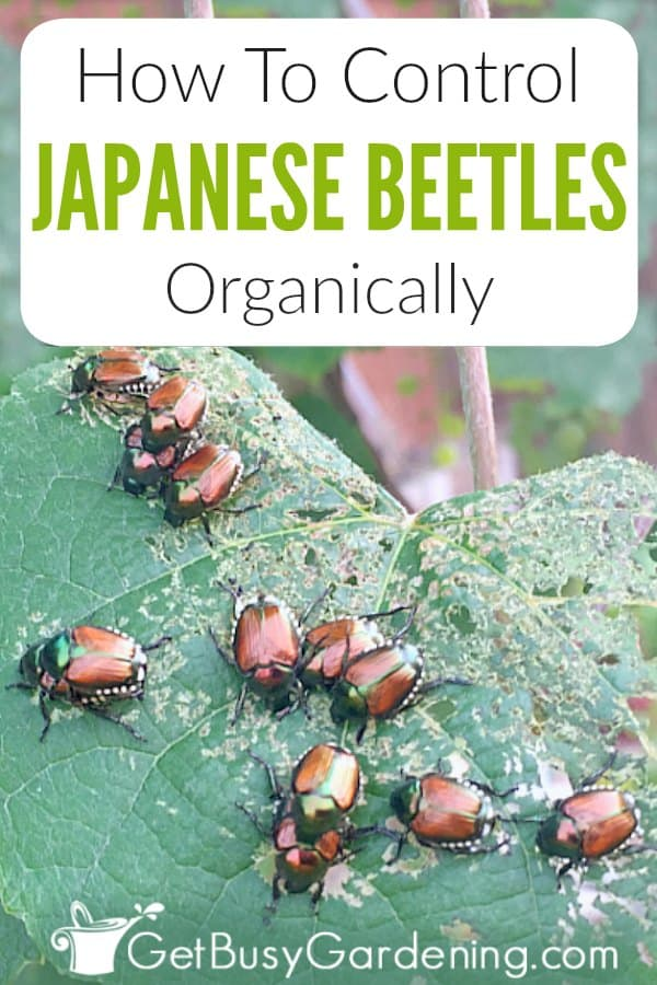 Japanese beetles are extremely destructive pests in yards and gardens. It's pretty much impossible to get rid of them all together, but there are tons of organic products and methods you can use to keep them from damaging your plants leaves, flowers, and lawn. Learn about these insects, including identification, life cycle (eggs, grubs, adults, pupae), feeding habits, and damage. Plus get tons of natural prevention tips, and learn exactly how to control Japanese beetles.