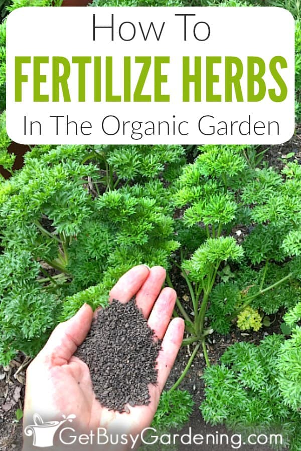Herbs aren't heavy feeders, so you don't need to fertilize them as often as other plants in your garden. But they do benefit from a feeding now and then, especially when grown in containers. Learn all about the different types of organic plant food to use for herbs in pots or the garden (liquid and granular), and find out which are the best. Plus get tons of easy tips and instructions for how to fertilize herbs, including when, how often, and how much to feed them.