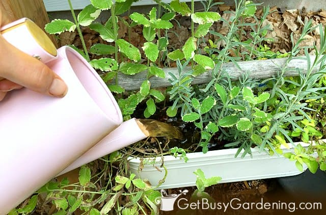 Feeding herbs in containers using compost tea