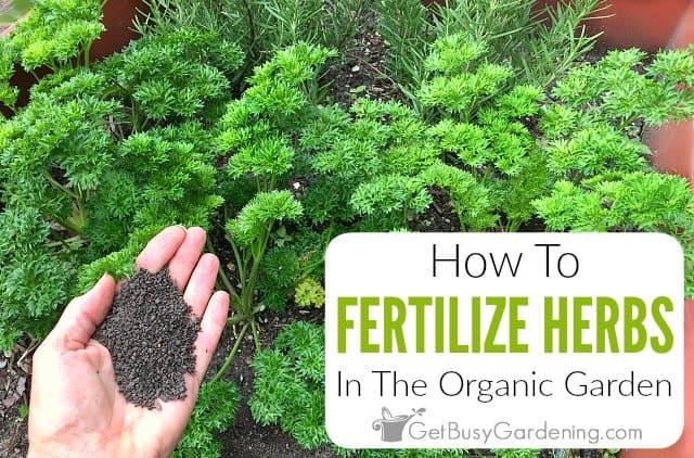 Fertilize Herbs In The Organic Garden
