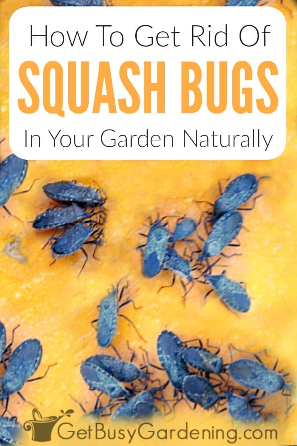 Squash bugs are vegetable garden pests that eat the leaves, vines, and fruit of pumpkins, zucchini, and other types of squash plants. Learn all about these annoying insects, including what they look like, their lifecycle (adults, eggs, nymphs), where they come from, and the damage they cause. Plus get tons of organic products to kill them, natural methods for how to get rid of squash bugs (spray, duct tape, DE), and prevention tips to keep them from ever coming back.