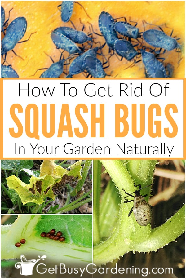 How To Get Rid Of Squash Bugs In Your Garden Naturally