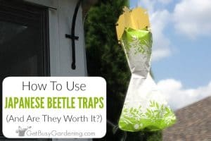 How To Use Japanese Beetle Traps