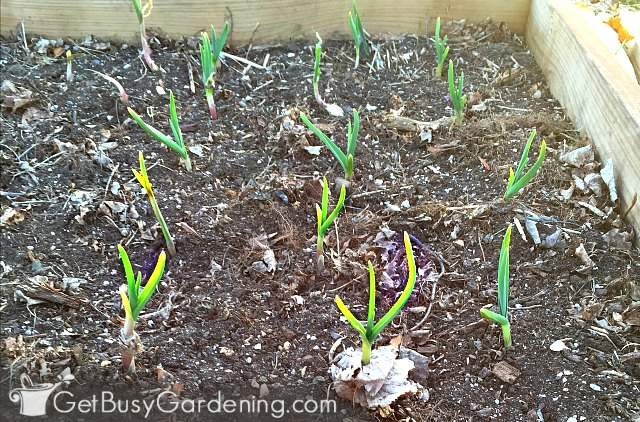 New garlic plants starting to grow in the spring