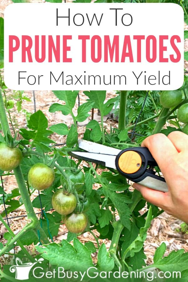 If your tomato plants become overgrown and tall every summer, but don't produce much fruit, then it's time to bring out your pruning shears. Getting into the habit of trimming tomato suckers and leaves on a regular basis will give you the best fruit yield. Learn more about why you should trim tomatoes, which types need it (determinate -vs- indeterminate), when to do it, and find out exactly how to prune tomatoes step-by-step (includes tons of tips and pictures).
