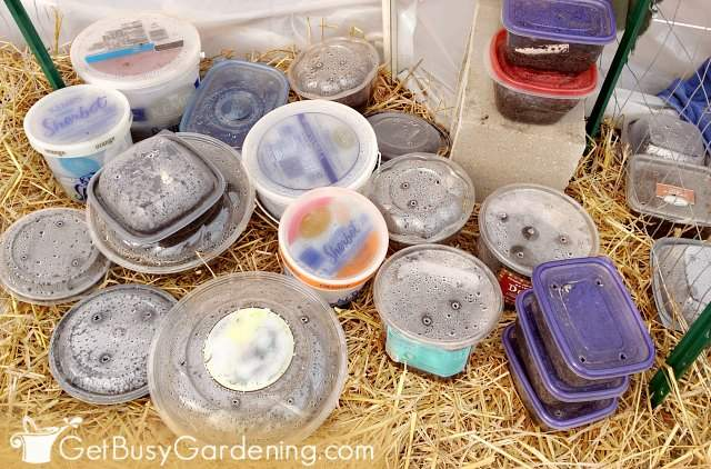 Closed winter sowing containers in the spring