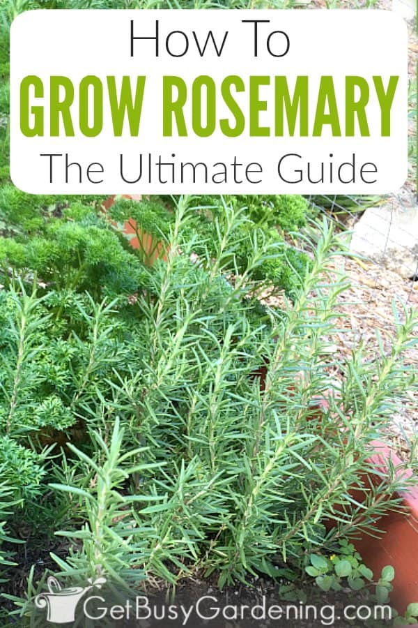 If you want to grow your own herbs, rosemary is a great choice. This beautiful evergreen bush hedge not only smells good, it also gets tiny blue flowers. Rosemary can be grown in a pot or the garden, both indoors or outdoors. Learn all about how to grow it in this detailed rosemary plant care guide. Includes everything from soil to planting, watering, fertilizing, pests, pruning, sunlight, propagation tips (either from seed or from cuttings), harvesting, and much more!