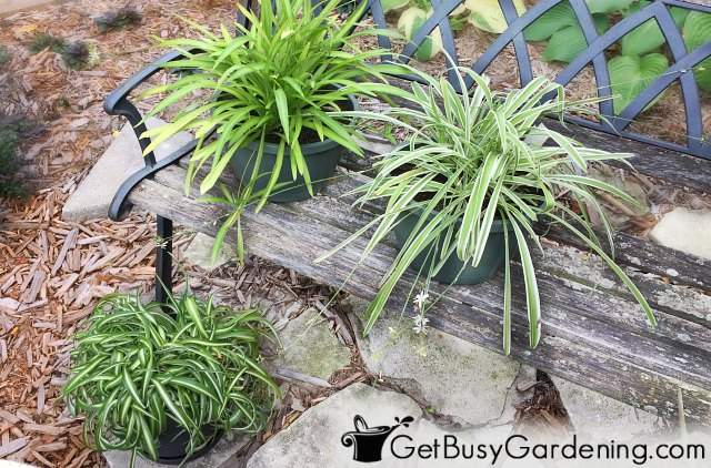 Growing spider plants outdoors for the summer