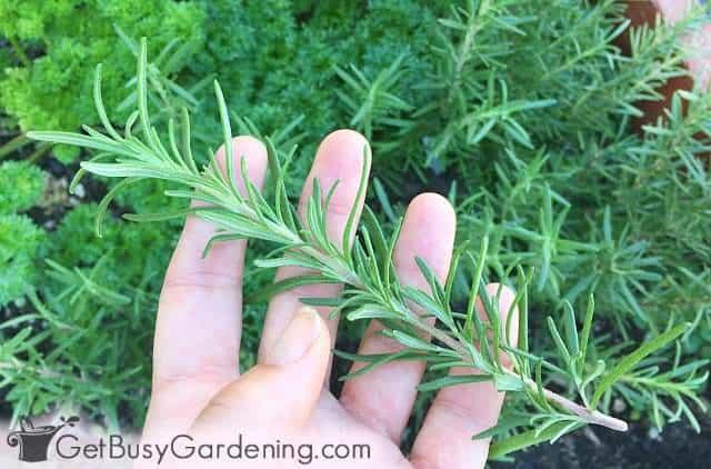 Harvesting rosemary sprigs from the garden