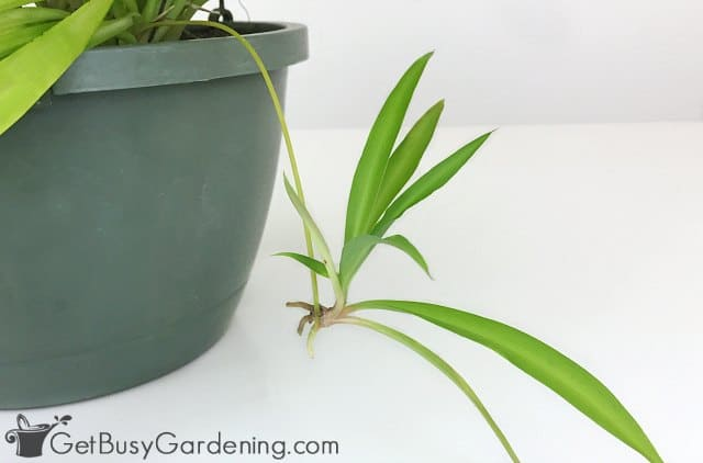 Mature spider plant baby