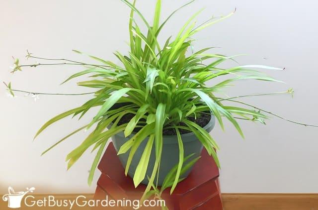 Plain green Chlorophytum comosum spider plant