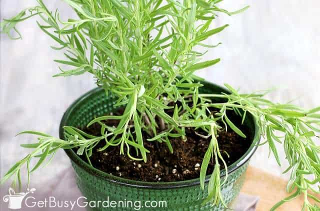 How To Grow Rosemary: The Ultimate Guide - Get Busy Gardening