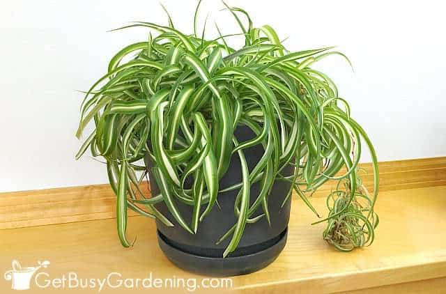 Variegated curly leaf spider airplane plant