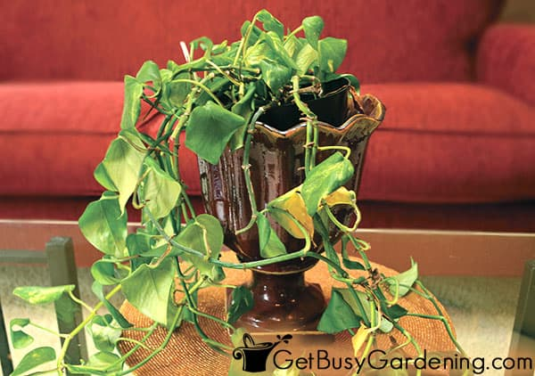 A droopy indoor plant that needs water