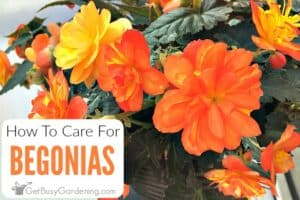 How To Care For Begonia Plants