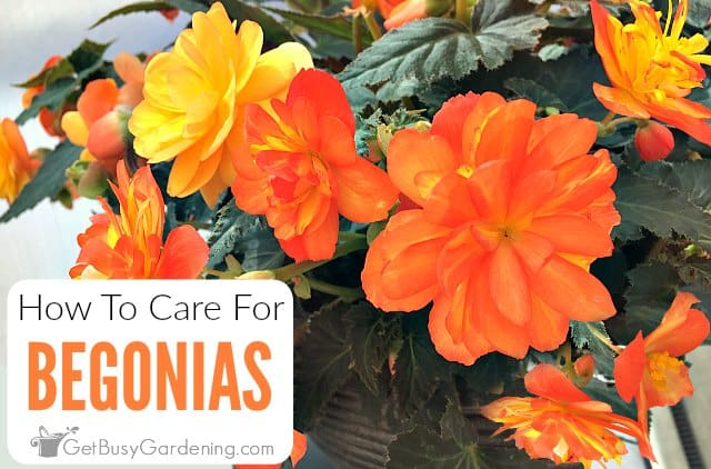 How To Care For Begonias - Begonia Care Guide