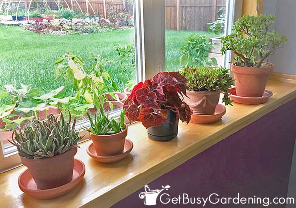 Houseplants sitting in a sunny window