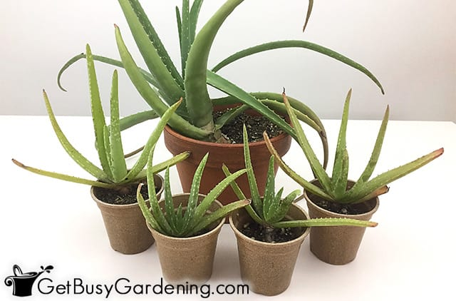 Mother plant with her babies after propagation
