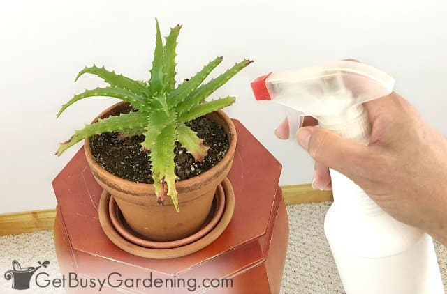 Spraying bugs on a houseplant in the fall