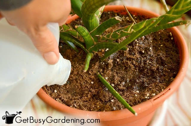 Watering a houseplant in the spring