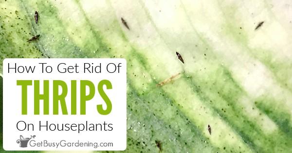 Wie man Thripse auf Zimmerpflanzen loswird thumbnail