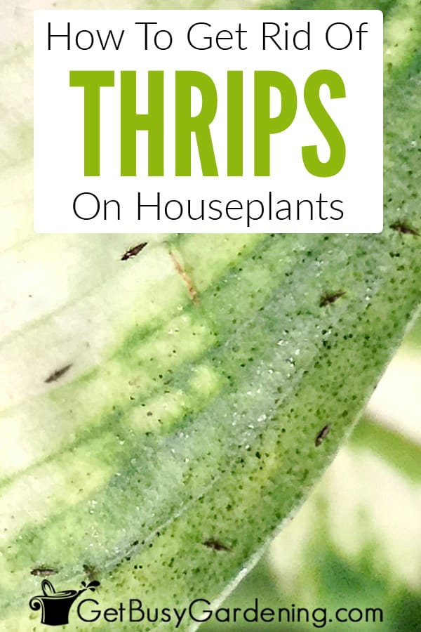 How To Get Rid Of Thrips On Houseplants