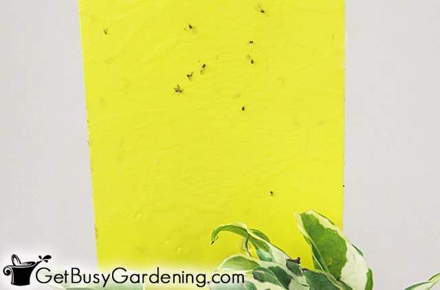 Dead fungus gnats stuck to a yellow sticky trap