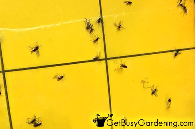 Fungus gnats caught in a sticky trap