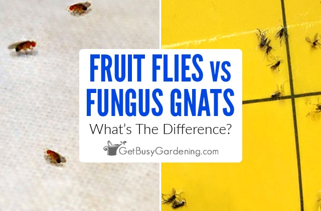 Fungus Gnats vs Fruit Flies: What's The Difference?
