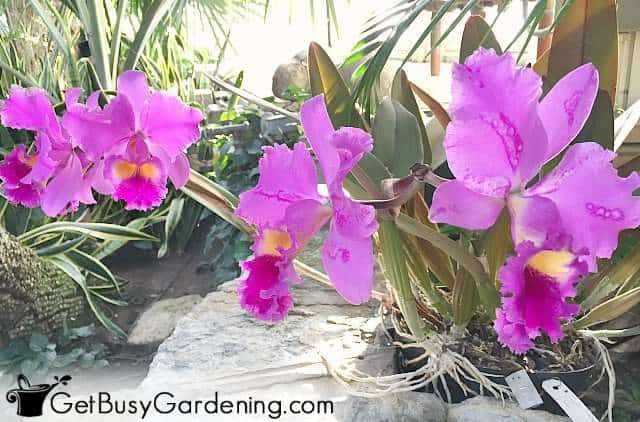 Hot pink frilly Cattleya orchid flowers