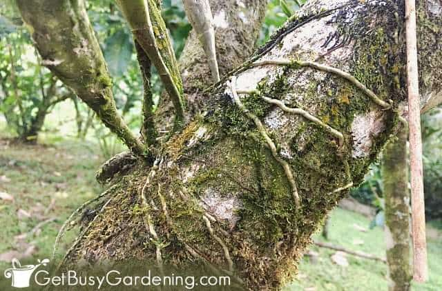 Orchid roots attached to a tree branch