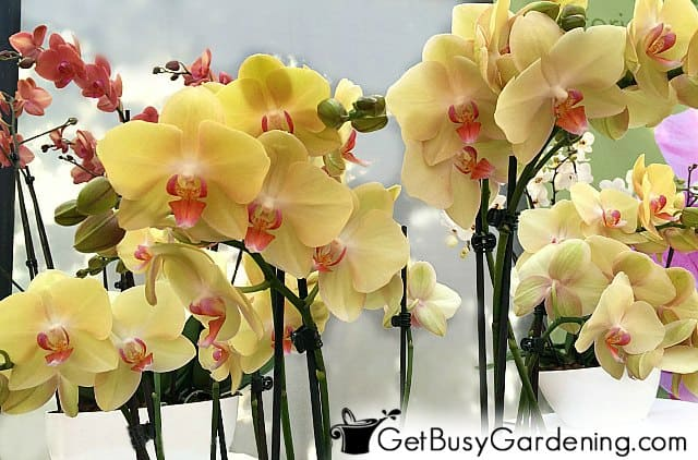 Orchids with yellow and red flowers