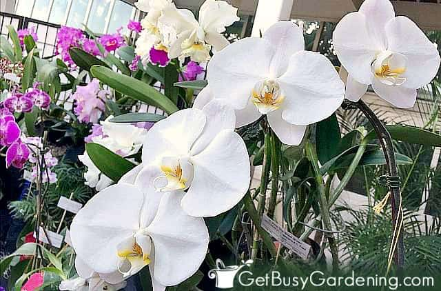 Pure white orchid flowers