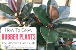 How To Care For Rubber Plants