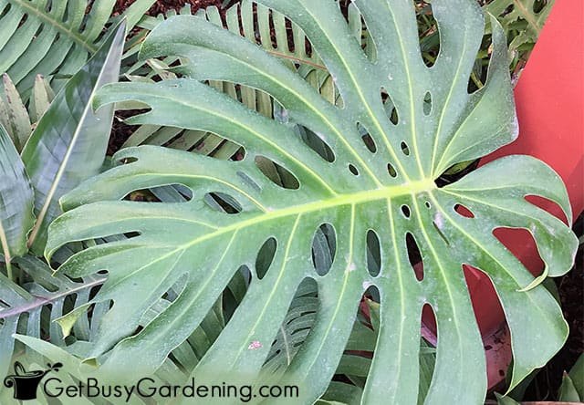 Tree philodendron plant