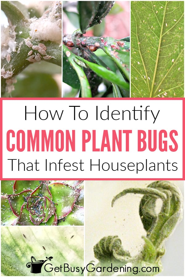How to identify common plant bugs that infest houseplants