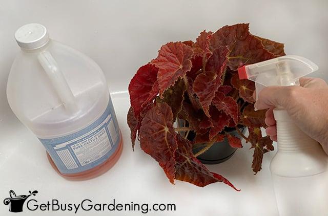 Using my homemade thrip spray on a houseplant