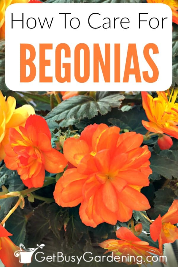 How To Care For Begonia Plants Get Busy Gardening