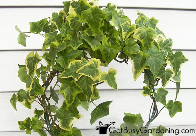 English ivy indoor plant