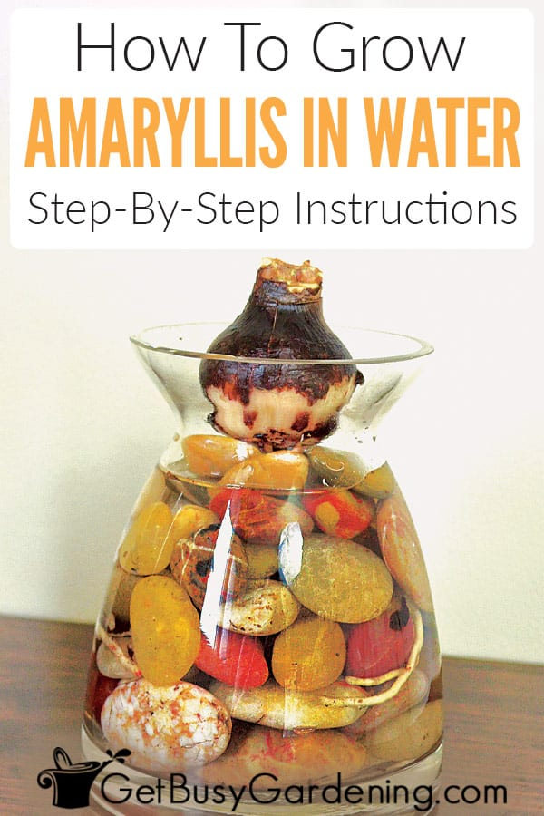 How To Grow Amaryllis In Water: Step-By-Step Instructions