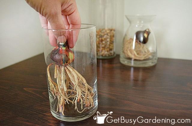 Positioning amaryllis bulb in the vase