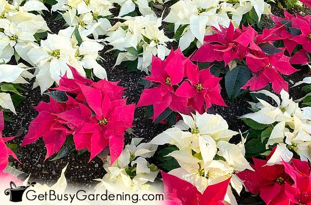 Rows of poinsettia plants alternating red and white